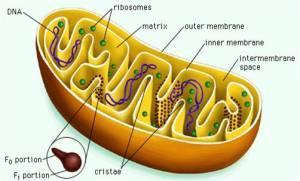 Eis a mitocôdria, a usina de transmutação da energia Prana ou Chi em energia física.