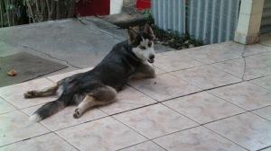 Atena, a cadela Rusky Siberiano de meu filho.