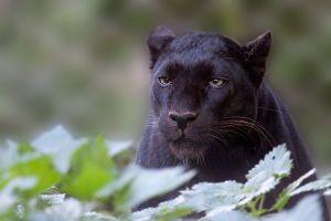 Feia, perigosa, à noite é praticamente invisível e pode atacar sem ser notada porque pisa macio como um gato. Esta é a nossa Onça Preta, a Pantera Negra dos outros.