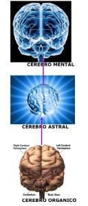 Este esquema não retrata a realidade. É somente para efeito de estudo, pois os três cérebros se interpenetram tão intimamente que parecem um único.
