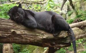 As onças ou panteras costumam dormir sobre os grossos galhos das grandes árvores.