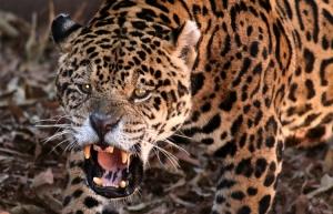 Às vezes elas rugem para espantar de seu território de caça algum intruso.