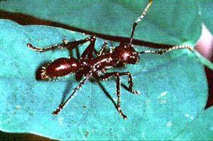 A formiga preta da Amazônia, também chamada de tucandeira.