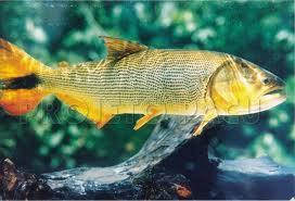 Malufão é como este dourado. Duvido que alguém tire este peixe de dentro d'água segurando-o pelo rabo.