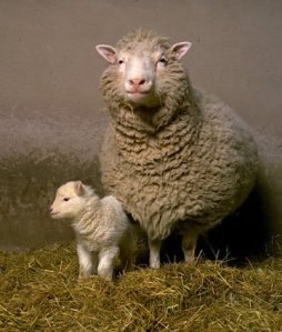 A ovelha Dolly e seu clone.