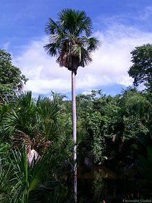 O Buriti é uma palmeira que logo vai desaparecer. Ela só nasce onde há abundância de água.