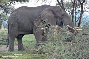 Gregário, paciente e solidário, o elefante, como o cavalo, foi e ainda é grande amigo dos humanos.