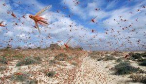 As nuvens de gafanhotos até hoje ocorrem nos campos e nas plantações.