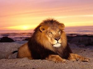 O Rei dos Animais, à noite, quando faz ouvir sua voz poderosa, arrepia até os mais destemidos.
