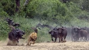 Atacar búfalo é tarefa para o rei dos animais. Ma não bastam força e coragem...