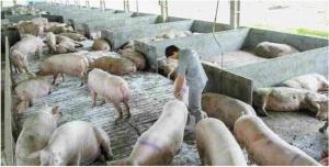 Foto de uma pocilga atual. Os porcos não têm direito a espaço nenhum, senão ao mínimo para sobreviver até serem abatidos.