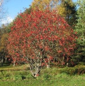 A Sorveira, árvore que era utilizada pelos Druidas e Druidesas em muitos de seus ritos de magia e cura.