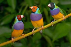 O canto destas lindas criaturas de Deus está cada vez mais raro não somente no Brasil, mas no mundo todo...