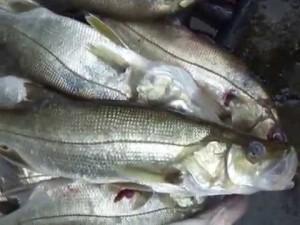Eram muitos peixes eviscerados que Issa trazia dependurados por uma corda na cintura.