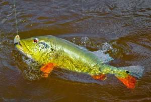 Tucunaré no anzol. Dá um trabalhão vencer o peixão amazônico.
