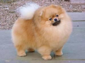 Este é o Lulu da Pomerânia. Ele sabe. Pena que não possa falar.