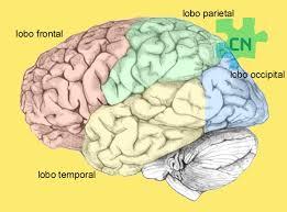 Localização do lóbulo frontal.