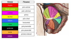 O cerebelo dissecado pela Ciência Médica.