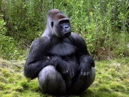 Na Cadeia Lunar nós éramos como ele: grandes gorilões, os mais evoluídos seres daquela cadeia planetária.