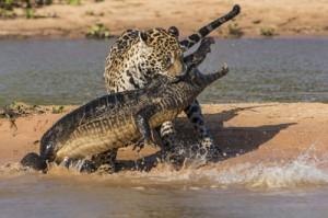 O juiz Moro é a Onça Pintada da Lei contra os crocodilos da Câmara e do Senado.