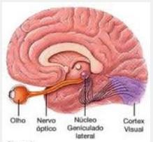 Veja onde se situa a córtex visual: bem atrás de nossa cabeça, na base do crânio. É aqui que nós realmente enxergamos.