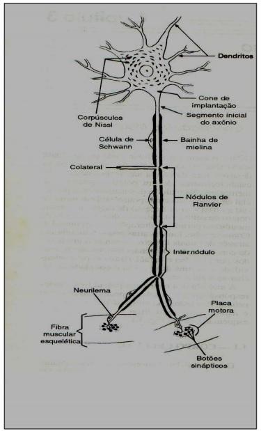 Um neurônio e sua estrutura.