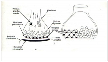 A sinapse neuronal.