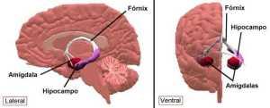 Visão esquemática do Hipocampo nos dois lobos cerebrais.