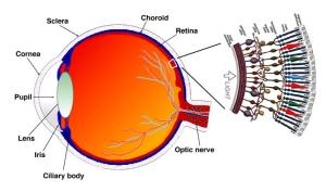 Bastonetes cones espalhados por nossa retina. Estas estruturas capturam 250 milhões de pontos luminosos. Não há máquina fotográfica que capture tantos pontos.
