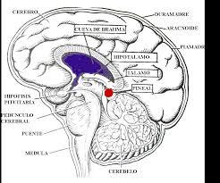 Veja a localização da Glândula Pineal. Fica no centro de nosso cérebro.