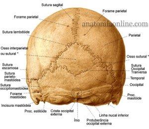 Localização do osso interparietal, bem atrás de nosso crânio.
