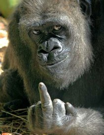 É isto que os polititicas merecem. Sigamos a orientação do gorila sábio.