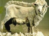 Eis uma ovelha de tosqueio tosqueada pela metade. Assim estão os que se tornaram apáticos às OCRIMS...